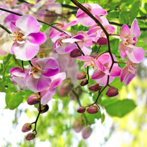 Bouquet of pink orchids (Phalaenopsis) with spring background
