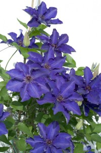 Clematis; The President