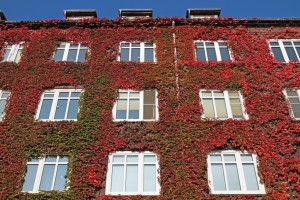 Fassadengrün im Herbst